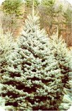 colorado_blue_spruce